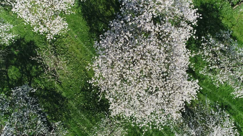 Aerial top-down view looking down on cherry blossom crown of cherry tree beautiful white blossom and more below showing green grass field amazing crisp white foliage flowers growing before cherries 4k