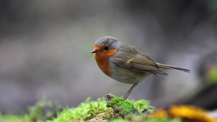 Robin sits on a green moss and jumps out of focus | Shutterstock HD Video #25577816