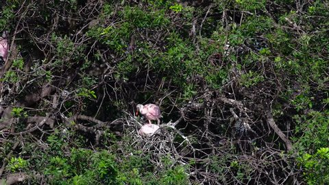 Two young Roseate Spoonbills prepare to leave their nest.
