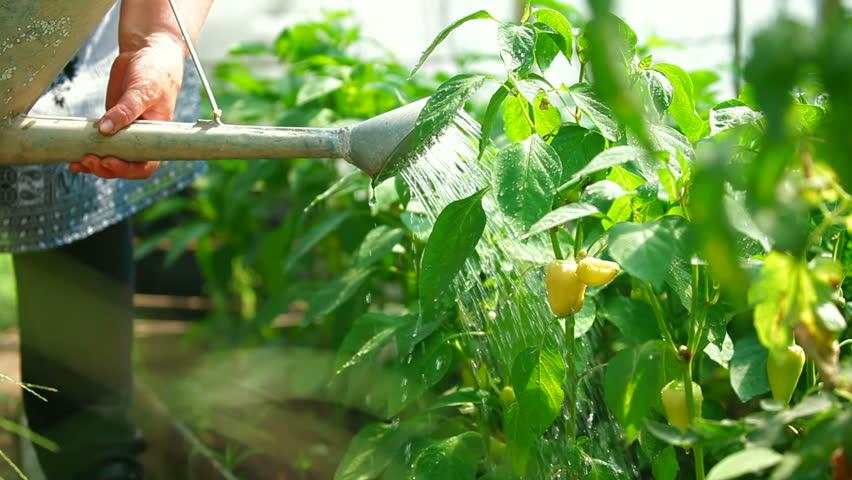 Gardener watering bell pepper in a garden
