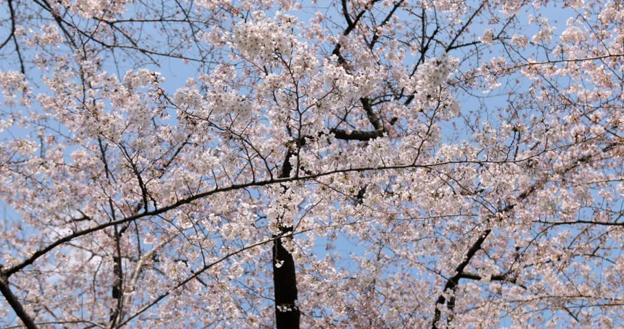 Cherry blossoms in full bloom at Ueno park, Tokyo, Japan