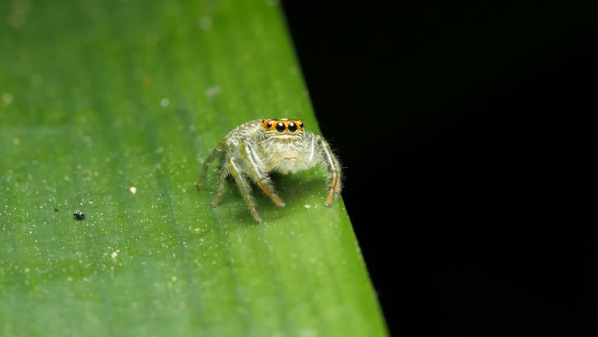 Header of Salticidae