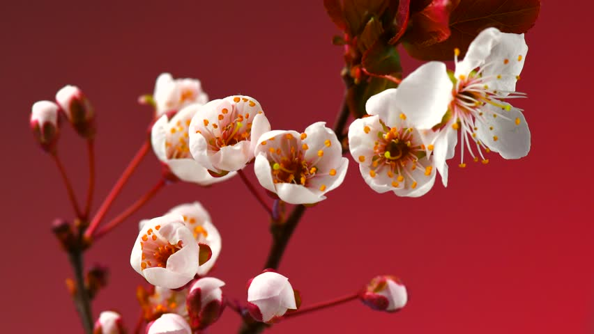 Beautiful Spring Cherry tree flowers blossom timelapse, close up. Time lapse of Easter fresh white blossoming Japanese cherry on red background closeup. 4K UHD video 3840X2160