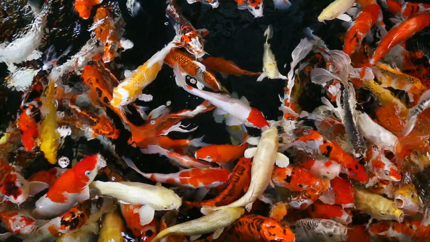 Koi fish fancy carp cyprinus carpio linn stock footage for Fancy koi fish