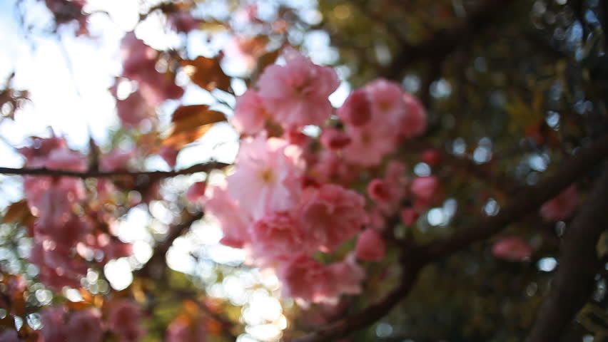 Cinematic closeup shot of beautiful sakura blossom. Sakura tree blossoming and lit with sunshine on a spring day. Pink petals of sakura flowers illustration Japanese cultural value.