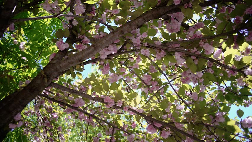 Overhead dolly shot of movement under the lush green tree branches covered with beautiful pink blossoms. Springtime nature. Sun rays are passing through branches and creating beautiful sun flares.