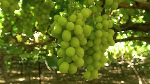 Grapes close-up during the harvest season. The camera moves around the berries