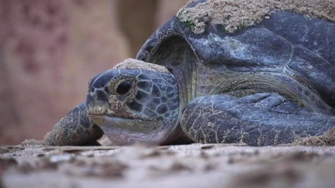 Female Green Turtle returns to the sea after laying her eggs