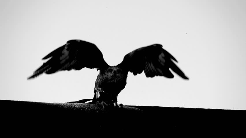 Hawk eagle falcon taking off. black and white scene of large bird flying in slow motion