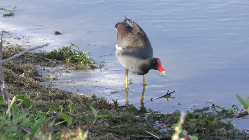 Common Gallinule feeds in a lake #26031566