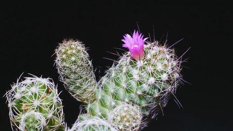 Cactus flower on black background