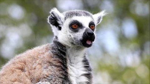 closeup lemur catta