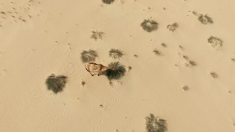 Aerial top view of camel in Arabian desert HD video. Camel eating grass herb in dry sand dune nature landscape