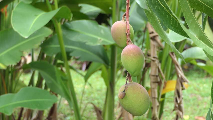 Green Mango On Tree Stock Footage Video 6855829