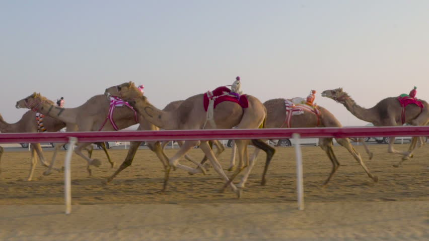 Camel race in slow motion. camel running. DOHA. Qatar. Camel in desert in Persian Gulf, Arabian Peninsula, Middle East. Camel running in Dubai | Shutterstock HD Video #26176496