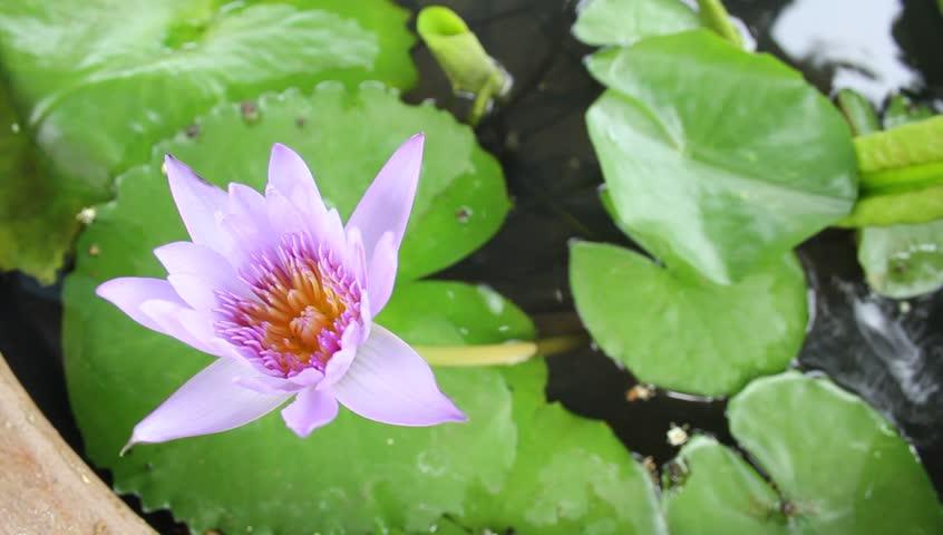 Beautiful Blooming Lotus Flower In Pond Hd Stock Video Clip