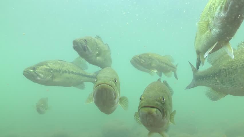 Largemouth bass fish