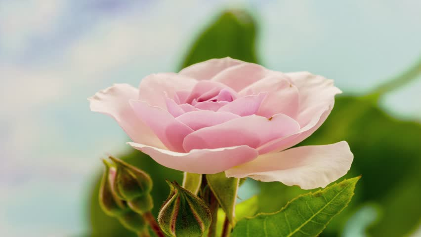 Beautiful macro time lapse video of a pink rose growing on a blue background/Pink rose blossoming macro time lapse