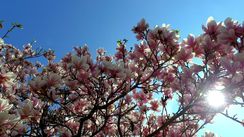 Blooming Magnolia Tree Magnolia In Stock Footage Video 100