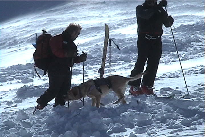 Park City, UT - January 2000: Search and Rescue dogs sniffing for buried skiers in avalanche. The Canyons Ski Resort, Utah.