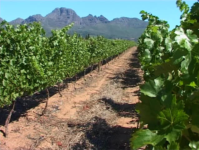 A vineyard in Stellenbosch - the famous wine making region of South Africa.
