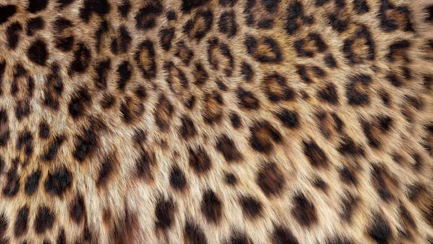 Beautiful leopard fur blowing on the wind, luxury abstract natural animation, close up macro shot of animal hair in slow motion. #26309456