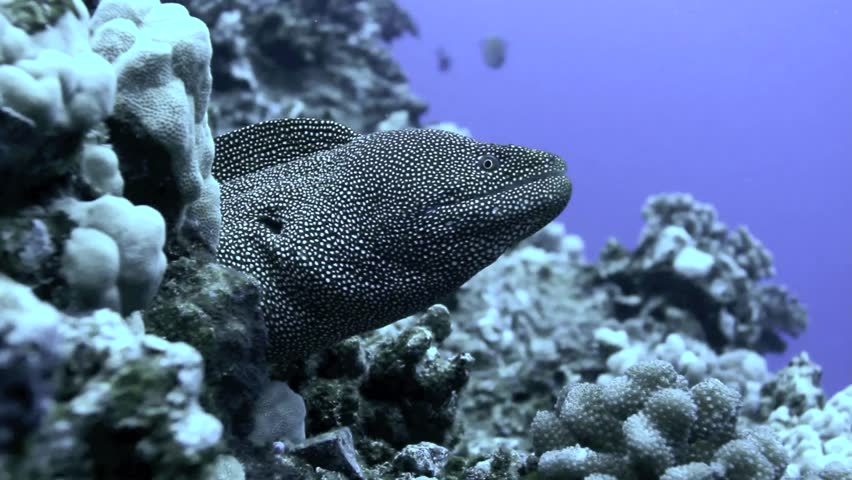 Head of Whitemouth moray eel in coral field, Molokini, Maui