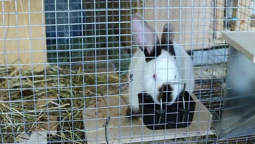 Video white californian rabbit in a cage on the farm - HD stock video clip