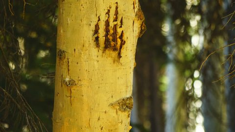Bear or Mountain Lion claw marks on an aspen tree, used to mark it's territory, and warn off competition