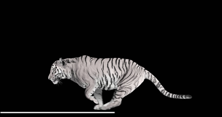 White tiger runs jumping. Animal isolated for your background. Alpha channel is included.