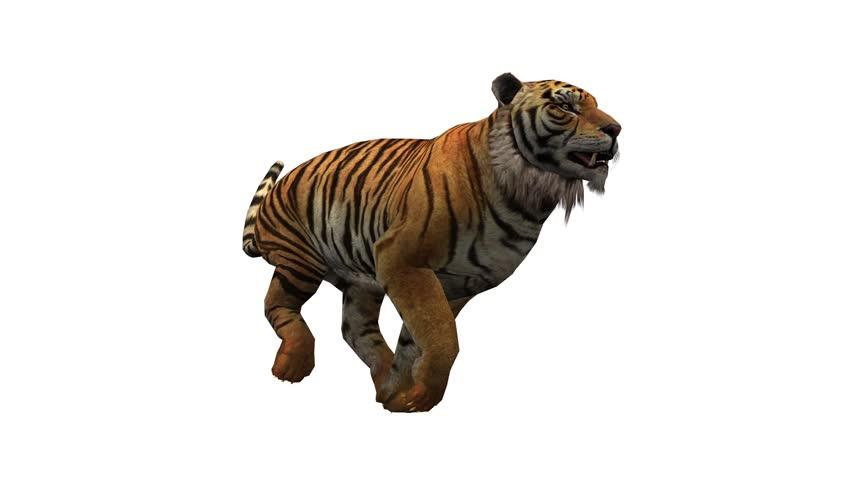 Tiger Running Wildlife Animals Habitat Cg 02090 Stock Footage