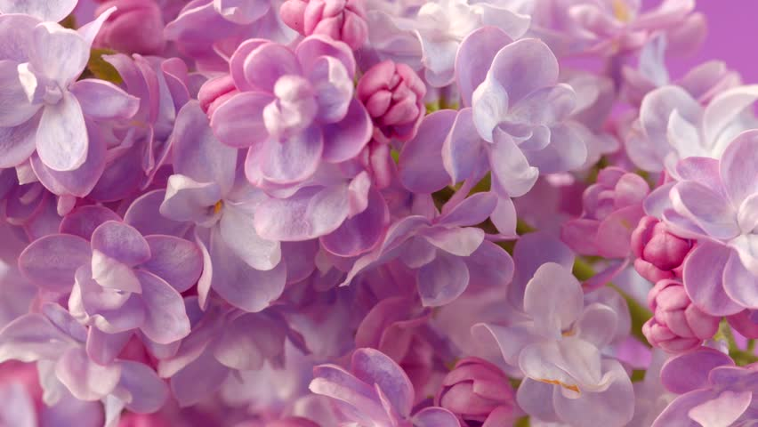 Lilac flowers bunch background. Beautiful opening violet Lilac flower Easter design closeup. Beauty fragrant tiny flowers open closeup. 4K UHD video 3840X2160