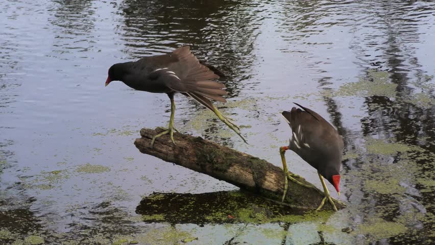 two Common Gallinules at sunset #26561426