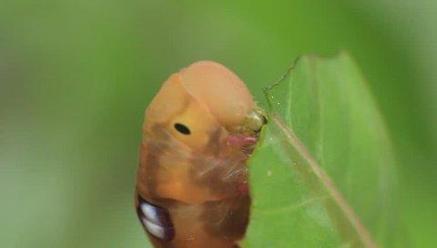 Oleander hawk-moth caterpillar eating desert rose's leaf