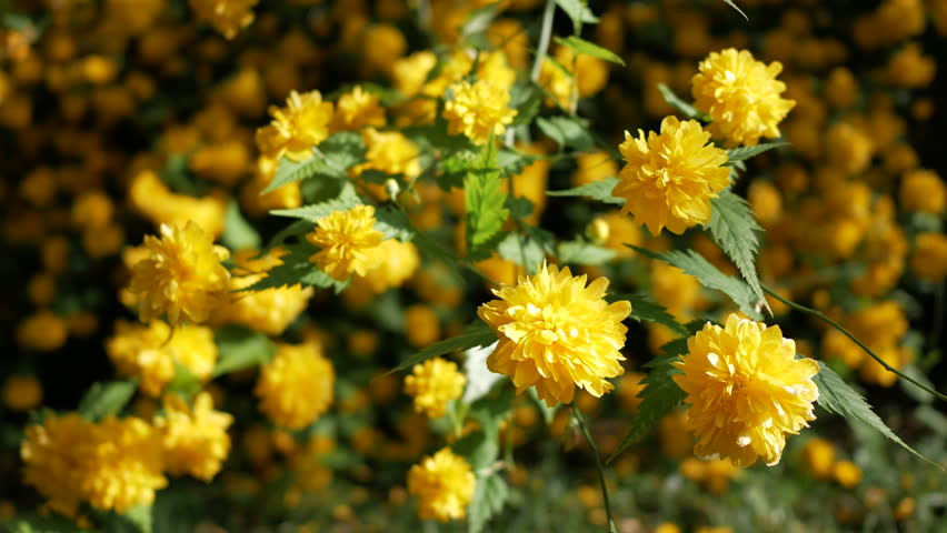 Yellow Flower Bushes In The Garden At Spring