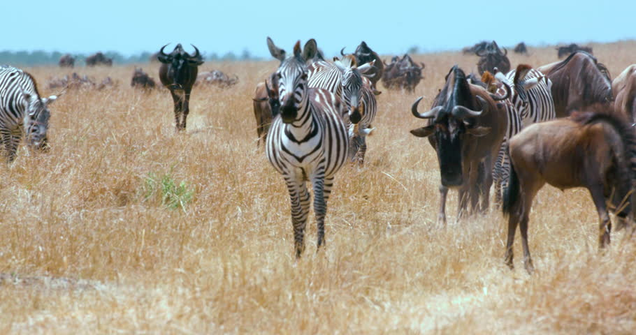 Burchell'S Zebras & Blue Wildebeests Walking; Maasai Mara Kenya Africa | Shutterstock HD Video #26586326