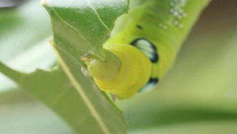 Oleander hawk-moth caterpillar eating desert rose leaf