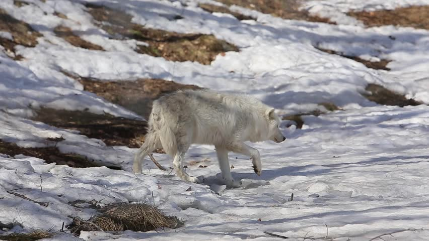 arctic wolf stretches himself out