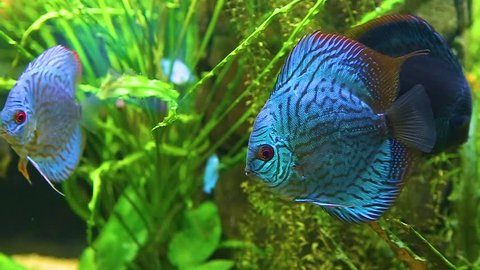 Closeup of beautiful bright blue colorful healthy discus fish swimming in aquarium water. Real time full hd video footage.