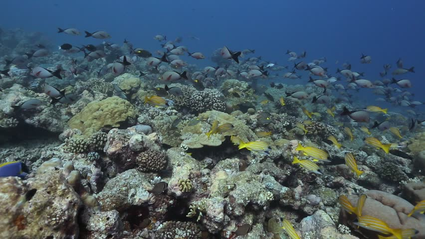School of reef fishes ,Tropical Reef seascape with Hard Corals, Indian Ocean ,Seychelles | Shutterstock HD Video #26661976