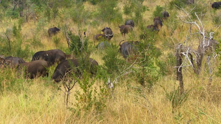 African buffalo herd
