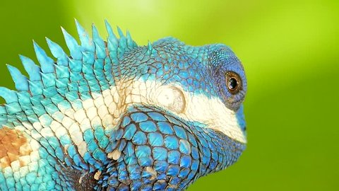 Closeup of wild lizard (Blue-crested Lizard) on the tree in tropical rain forest.