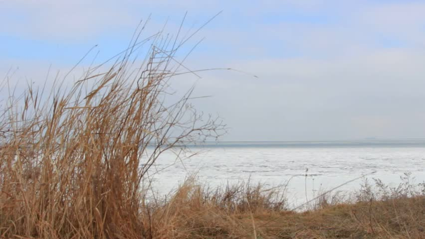 Dry grass develops in the wind against the frozen sea