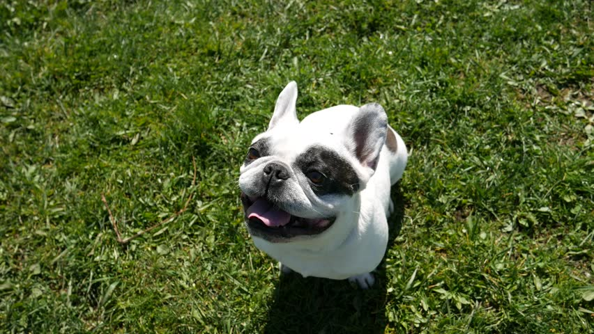 Cute French Bulldog sits on green grass and breathing with sticking out tongue. Black and white dog. Video 4K top view.