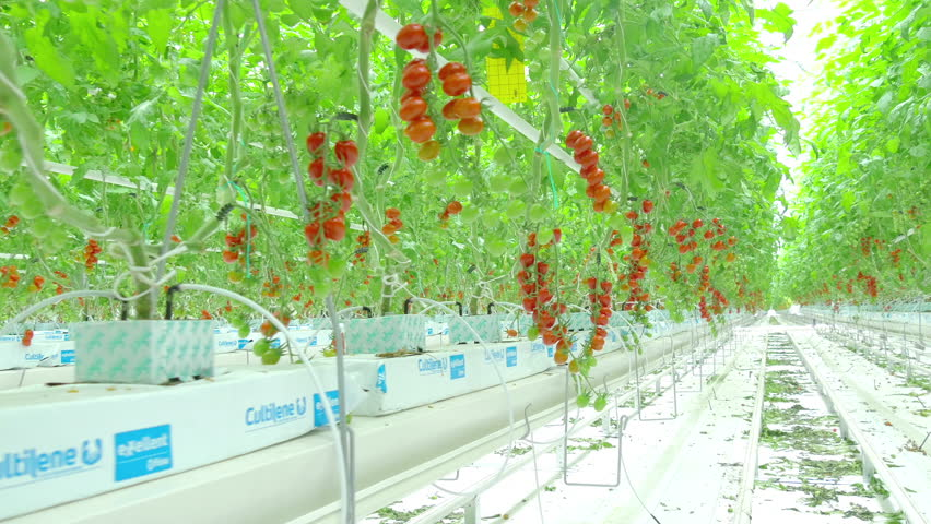 Rows of tomato hydroponic plants in greenhouse  | Shutterstock HD Video #26831506