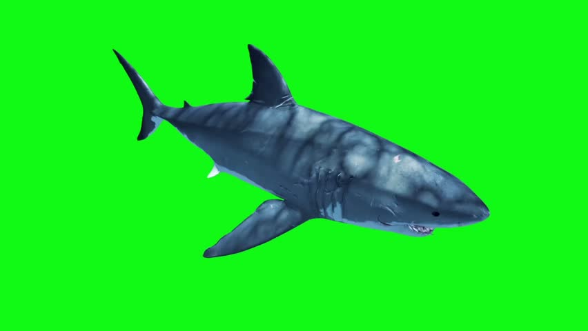 White Shark Attack Loop Green Screen 3D Rendering Animation