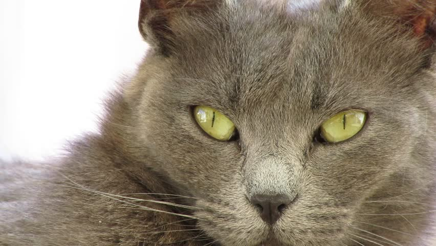 Russian Blue Cat Eyes Foreground