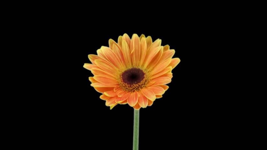 Time-lapse of growing and opening orange gerbera flower isolated on black background 1  | Shutterstock HD Video #2710946