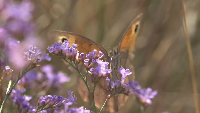 Butterfly drinks nectar in flower Limonium sea-lavender