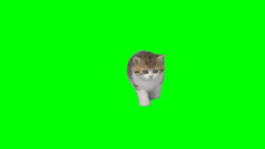4K Cat Kitten in a Looking Around with Cutie Face Chroma Key Background Green Screen Small